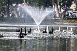 Tạm dừng thí điểm thả thiên nga ở hồ Hoàn Kiếm